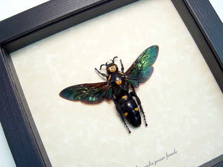 Megascolia procer Female Worlds Largest Wasp
