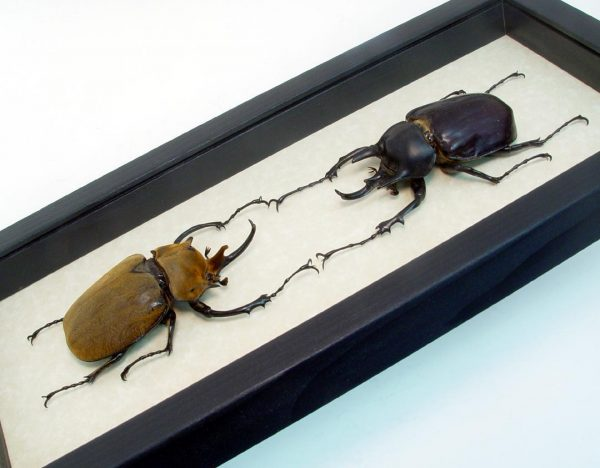 Megasoma elephas acteon Elephant Wars Beetles
