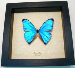 Morpho Aega Blue Morpho Butterfly