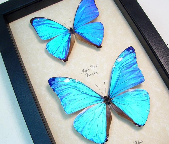 Morpho aega adonis Set Blue Morpho Butterflies
