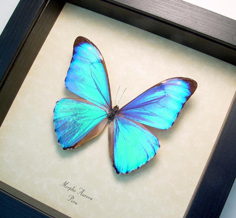 Morpho aurora Iridescent Blue Morpho