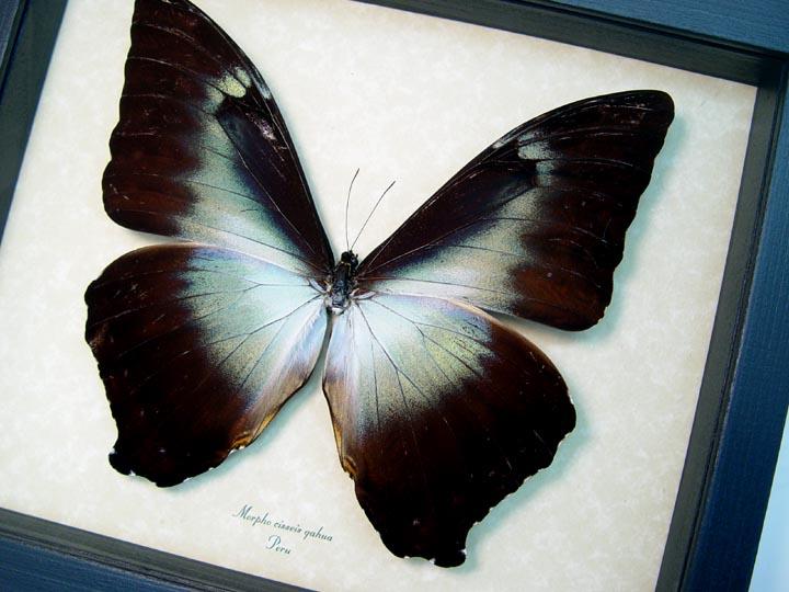 Morpho cisseis gahua Giant Blue Morpho Butterfly