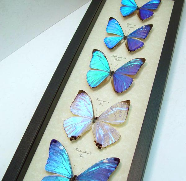 Diamond Morpho Butterfly Collection