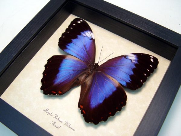 Morpho helenor violaceus Violet Butterfly