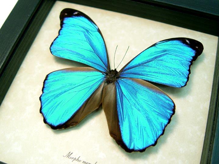 Morpho menelaus Blue Morpho Butterfly