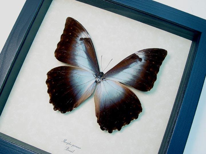 Morpho perseus Blue Morpho Butterfly