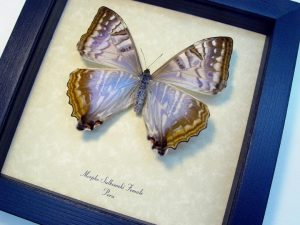 Morpho sulkowski Female Mother Of Pearl
