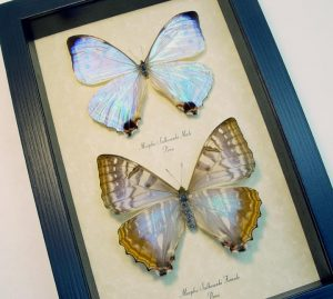Morpho sulkowski Pair Mother Of Pearl