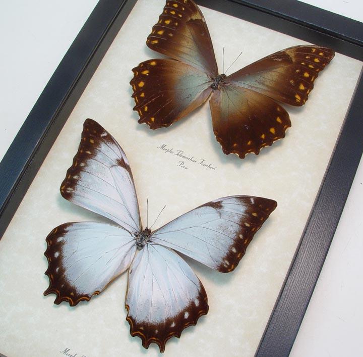 Morpho theseus telemachus Set Morpho Butterflies
