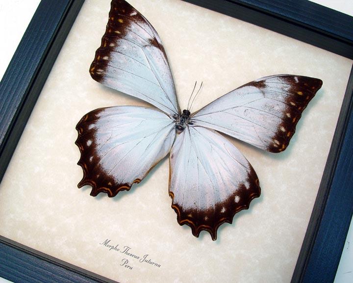 Morpho Theseus Juturna White Butterfly