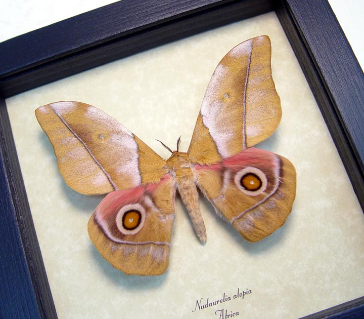 Nudaurelia alopia Silk Moth African