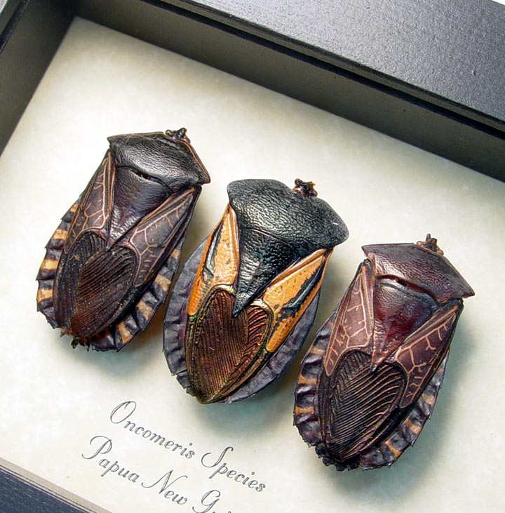 Black Heart Insect Collection