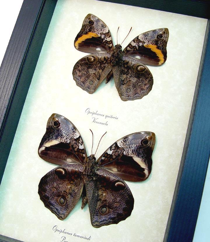 Opsiphanes Owl Butterfly Set