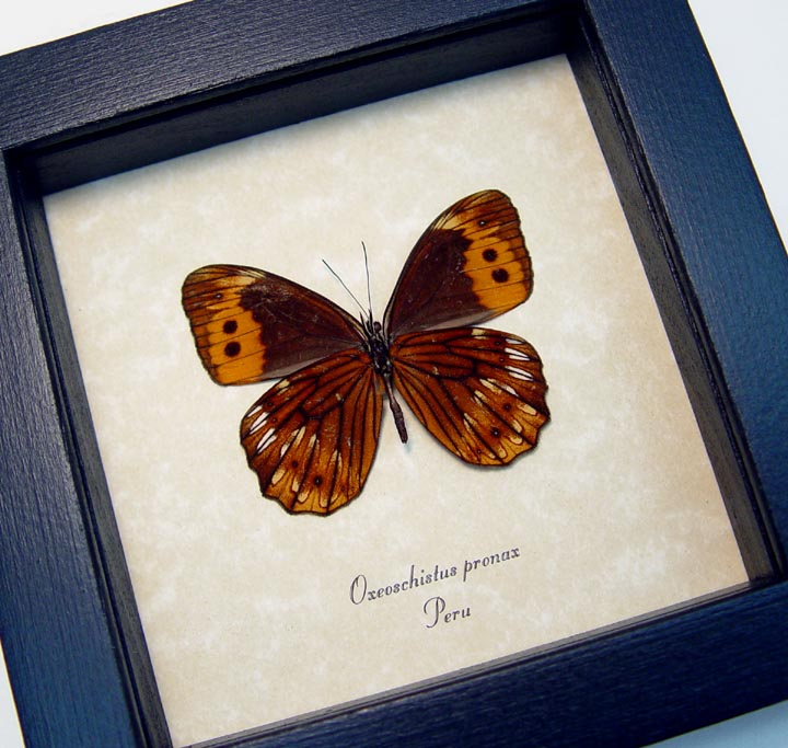 Oxeoschistus pronax Verso Orange Butterfly