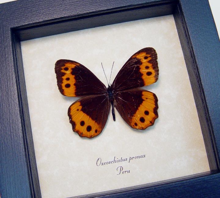 Oxeoschistus pronax Orange Butterfly