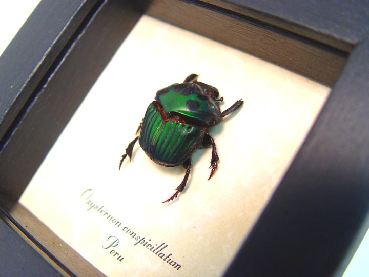 Oxysternon conspicillatum Female Scarab Beetle