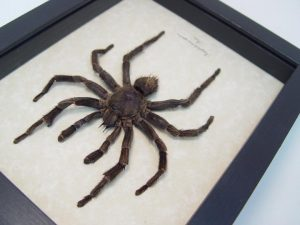 Pamphobeteus species Tarantula Spider