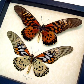 Papilio antimachus Set Framed Butterfly Display by butterfly-designs
