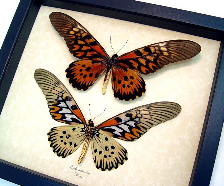Papilio antimachus Set African Butterflies