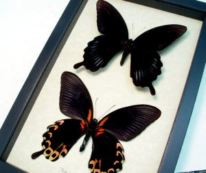 Papilio deiphobus Black Witch Butterflies