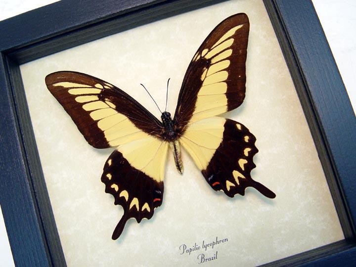 Papilio lycrophon Astyalus Swallowtail Yellow Butterfly