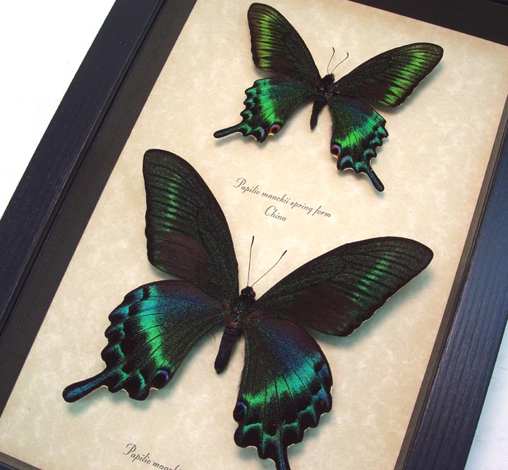 Papilio maackii Summer Spring Form Set