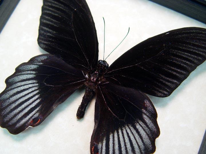 Papilio rumanzovia Black Scarlet Mormon