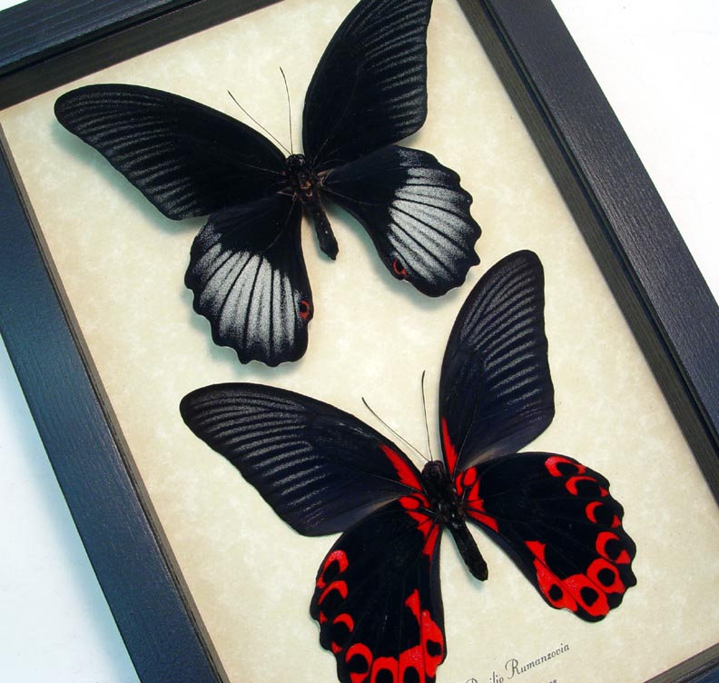 Papilio rumanzovia Pair Scarlet Mormon  Framed Butterfly Display art