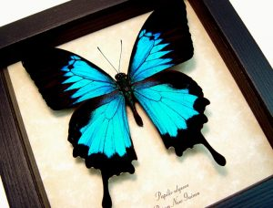 Papilio ulysses Blue Mountain Swallowtail Butterfly