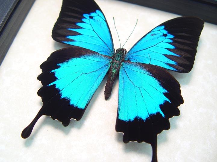 Papilio ulysses autolycus Blue Mountain Swallowtail