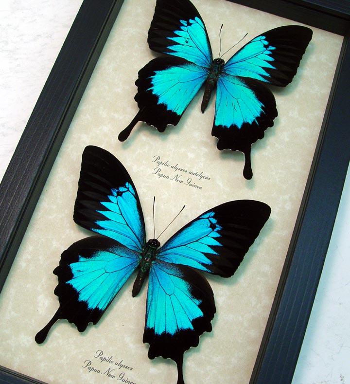 Papilio ulysses autolycus Set