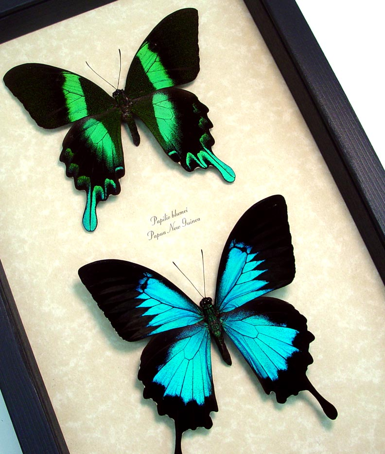 Framed Butterflies Swallowtail Butterflies Set