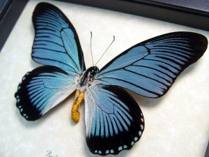 Papilio zalmoxis Blue African Birdwing Butterfly greek god