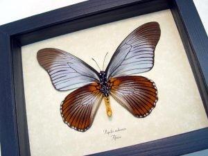 Papilio zalmoxis verso Blue African Birdwing
