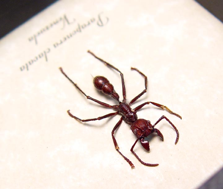Paraponera clavata Venomous Bullet Ant
