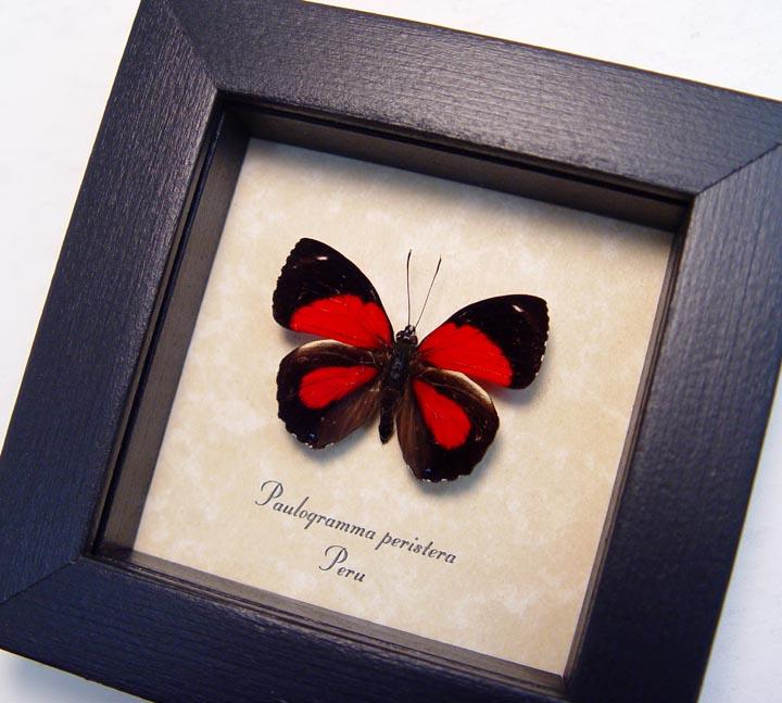 Paulogramma peristera Red Butterfly