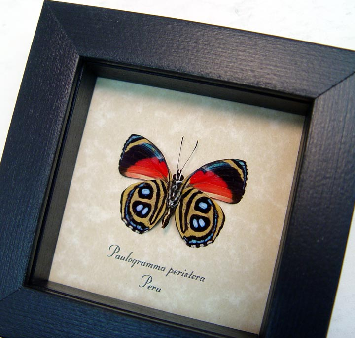 Paulogramma peristera verso butterfly