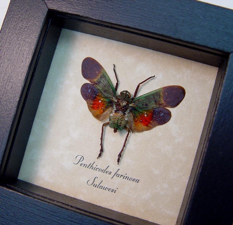 Penthicodes farinosa Sunset Lanternfly