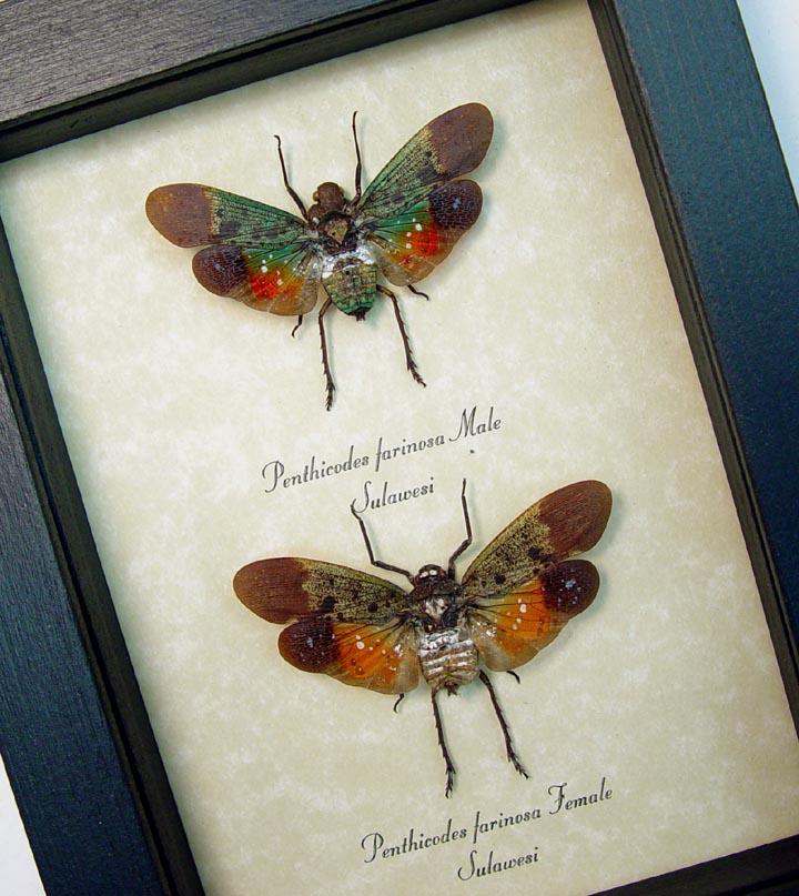 Penthicodes farinosa Pair Sunset Lanternflies