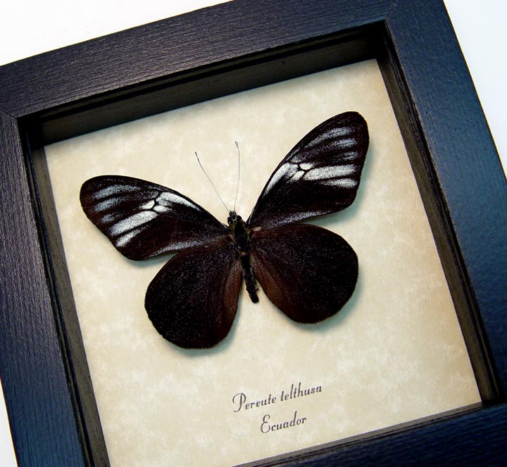 Pereute telthusa Black Ghost Butterfly