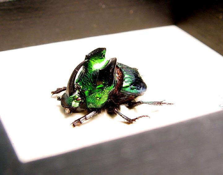 Phanaeus demon Green Devil Scarab