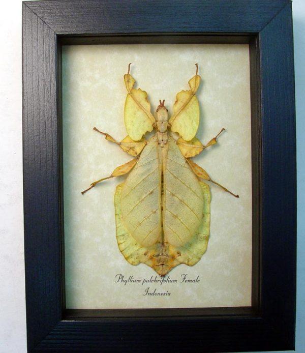 Phyllium pulchrifolium yellow Walking Leaf Insect