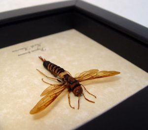 Pigeon tremex Horntail Wood Wasp