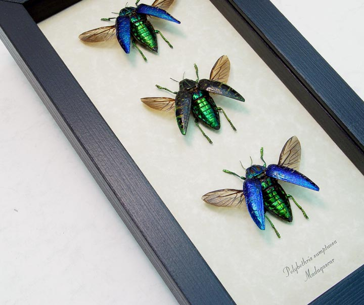 Polybothris sumptuosa Set Jewel Beetles