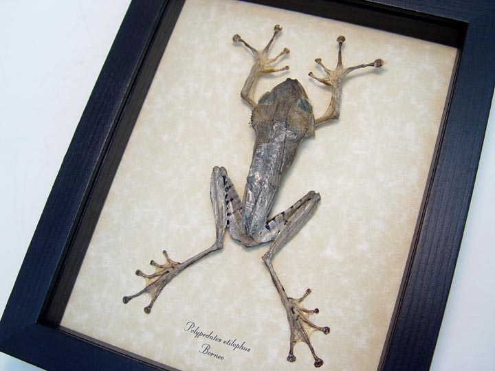 Polypedates otilophus Silver Flying Frog