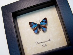 Poritia erycinoides Blue Gem Butterfly