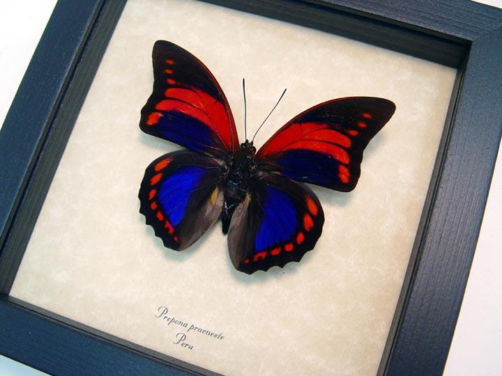 Prepona praeneste Purple Red Butterfly