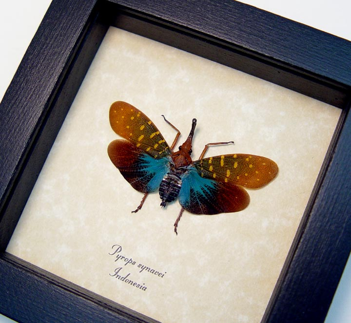 Pyrops synavei Blue Lanternfly