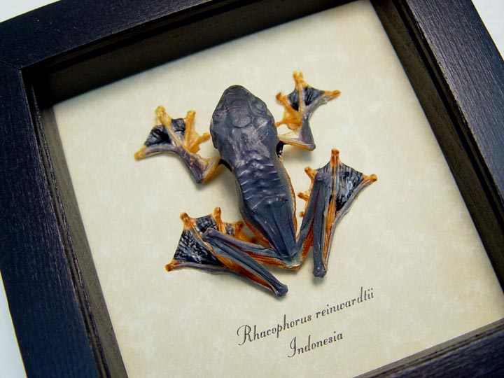 Rhacophorus Reinwardtii Leap Frog