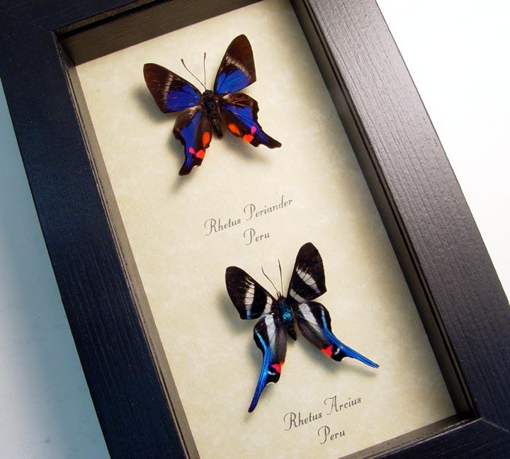Rhetus Butterfly Pair Blue Swallowtails